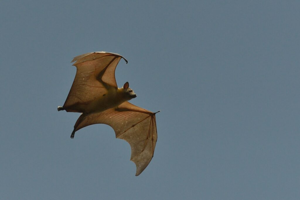 The straw colored fruit bat in Zambia's Kasanka National Park.