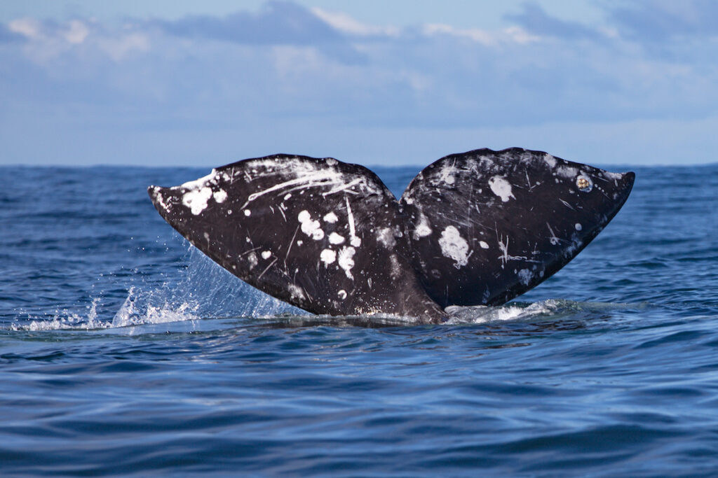 The tail of a gray whale in Oregon.