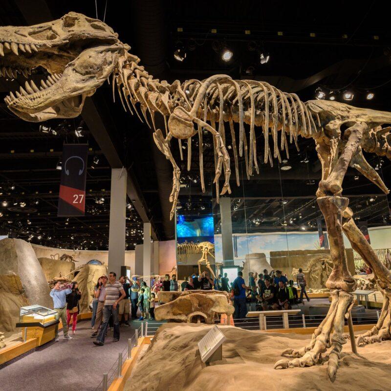 The Tyrannosaurus rex skeleton at The Royal Tyrrell Museum Of Palaeontology.