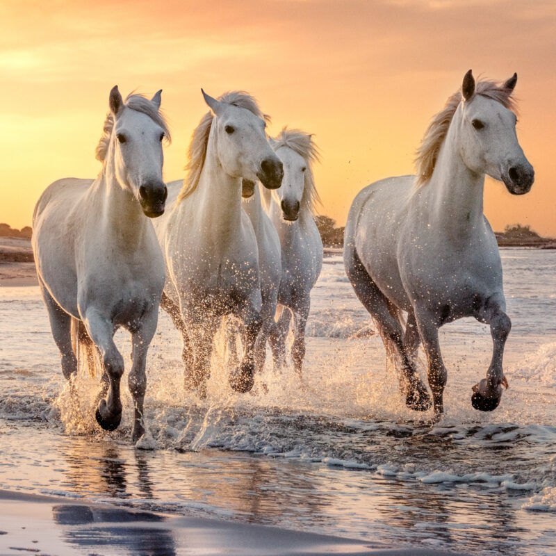 The white horses of Camargue in France.