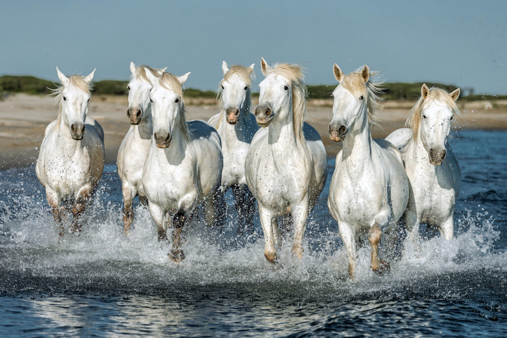 The white horses of Camargue, France.
