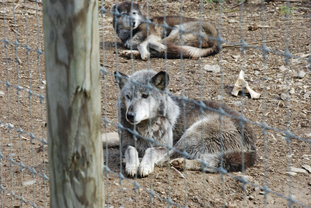 The Wolf Sanctuary of PA in Lititz, Pennsylvania.