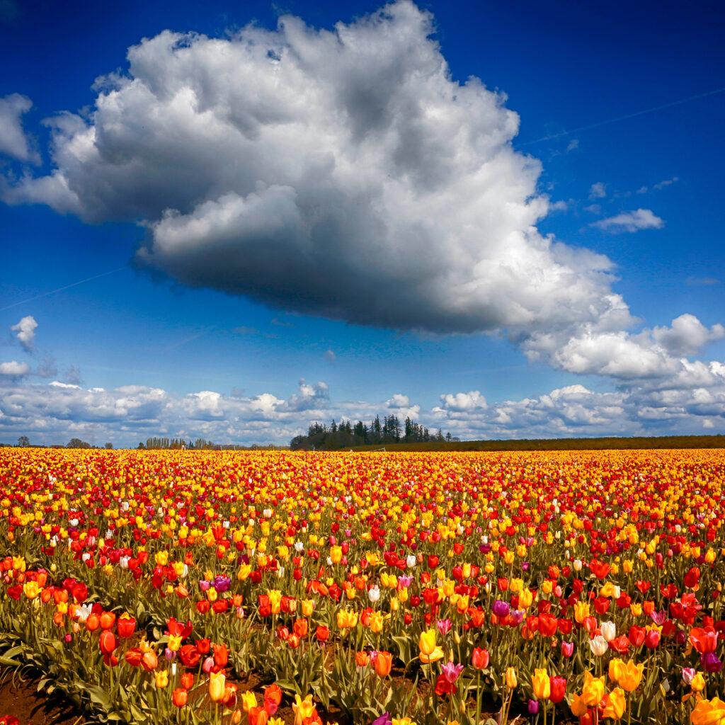 The Wooden Shoe Tulip Farm in Oregon.