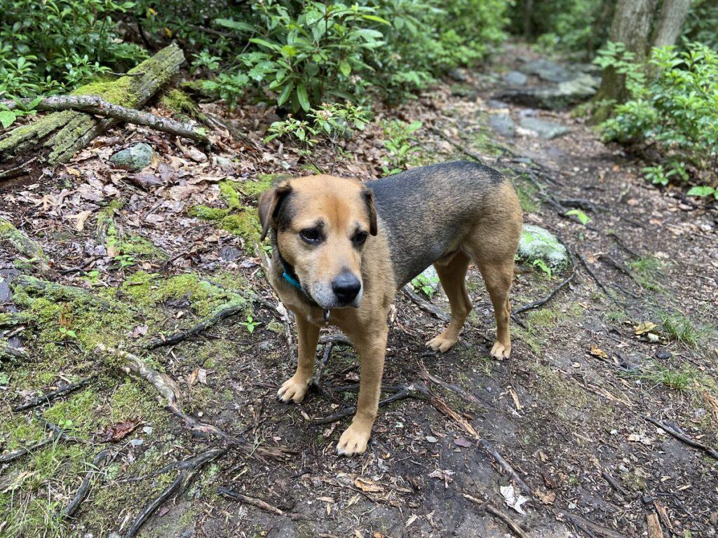The writer's dog on an Appalachian Trail hike.