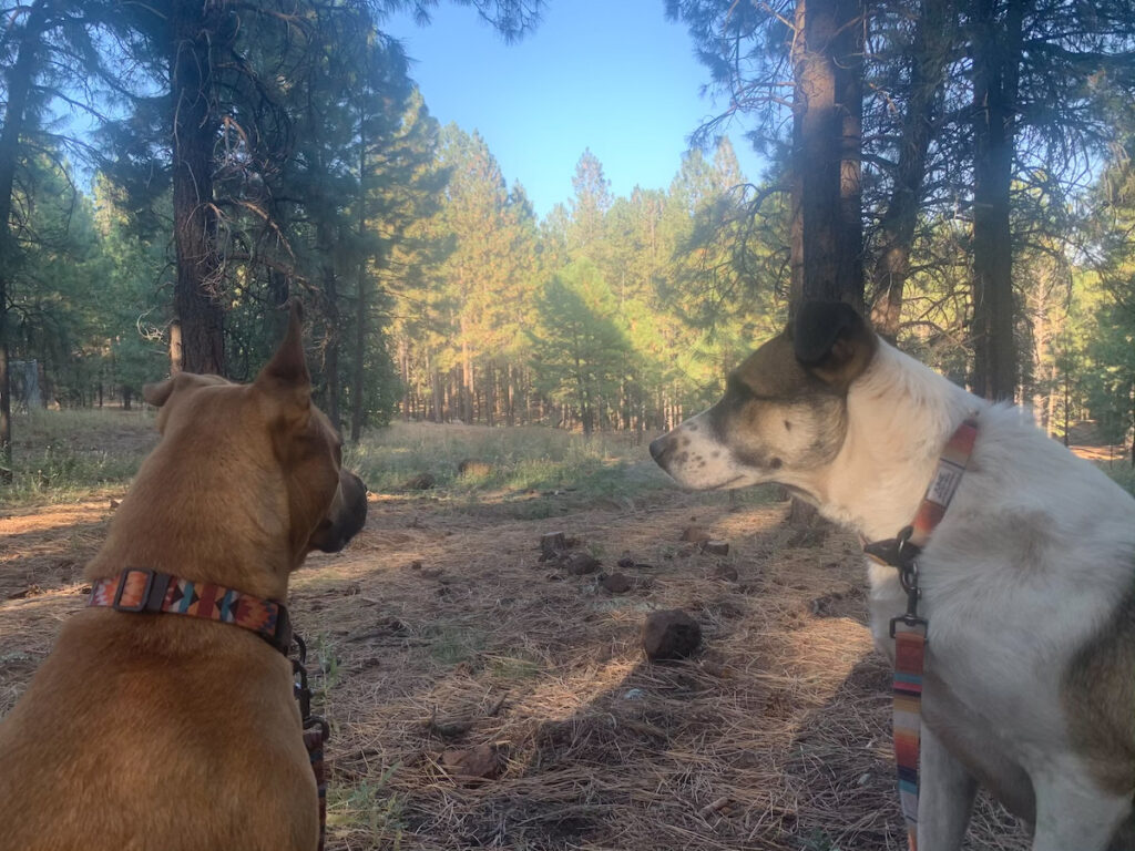 The writer's dogs at a campsite.