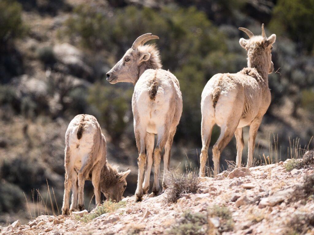 Three bighorn sheep.