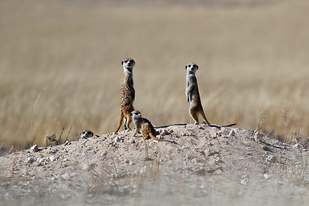 Three meerkats.