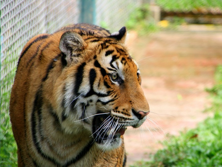 Tiger roars fenced in.
