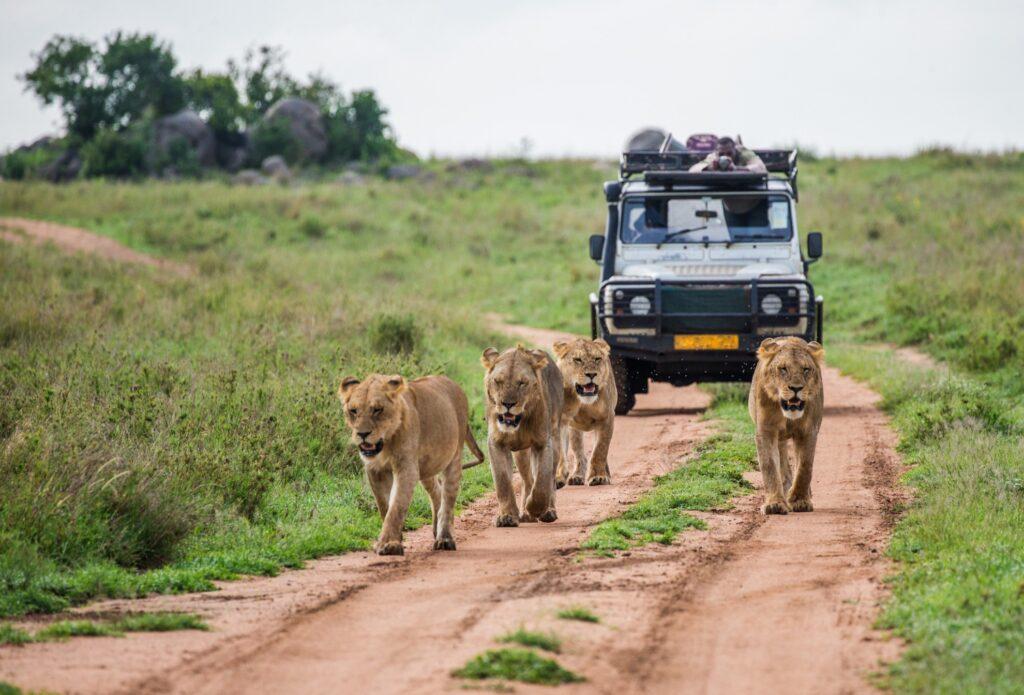 Tourists encounter lions on a safari.
