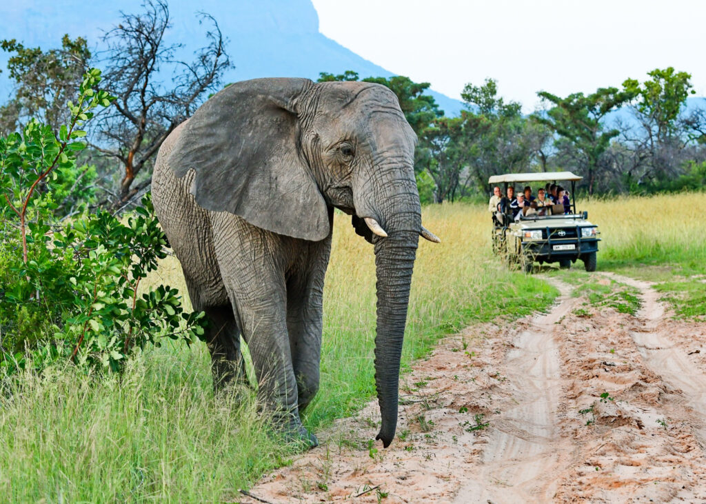 Tourists observing an African elephant.