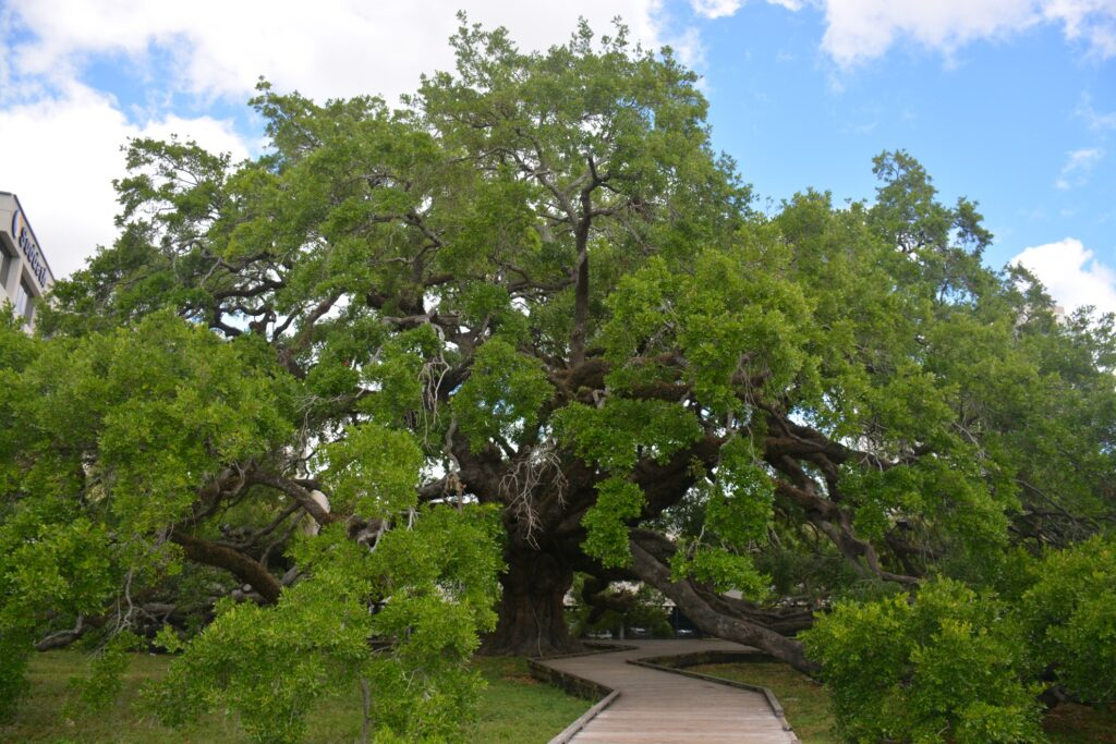 Treaty Oak in Jacksonville, Florida.