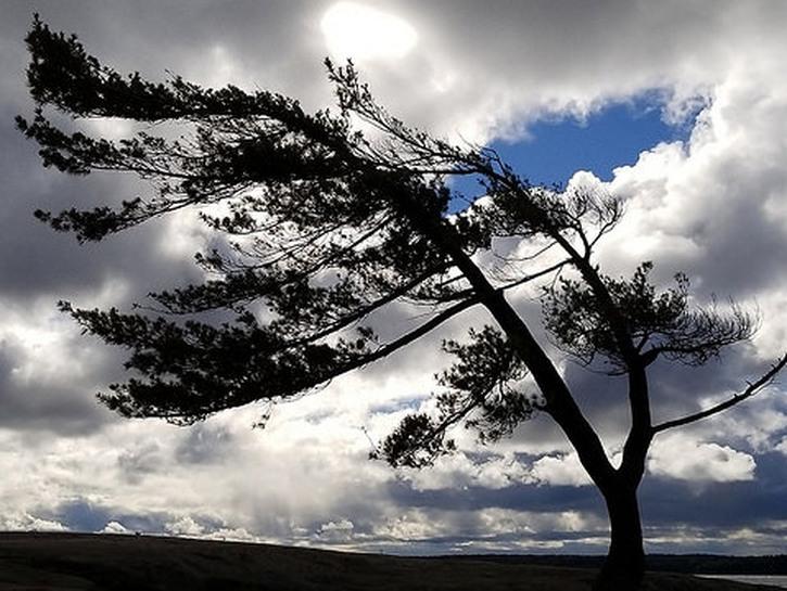 Tree blows in the wind at Killbear Provincial Park