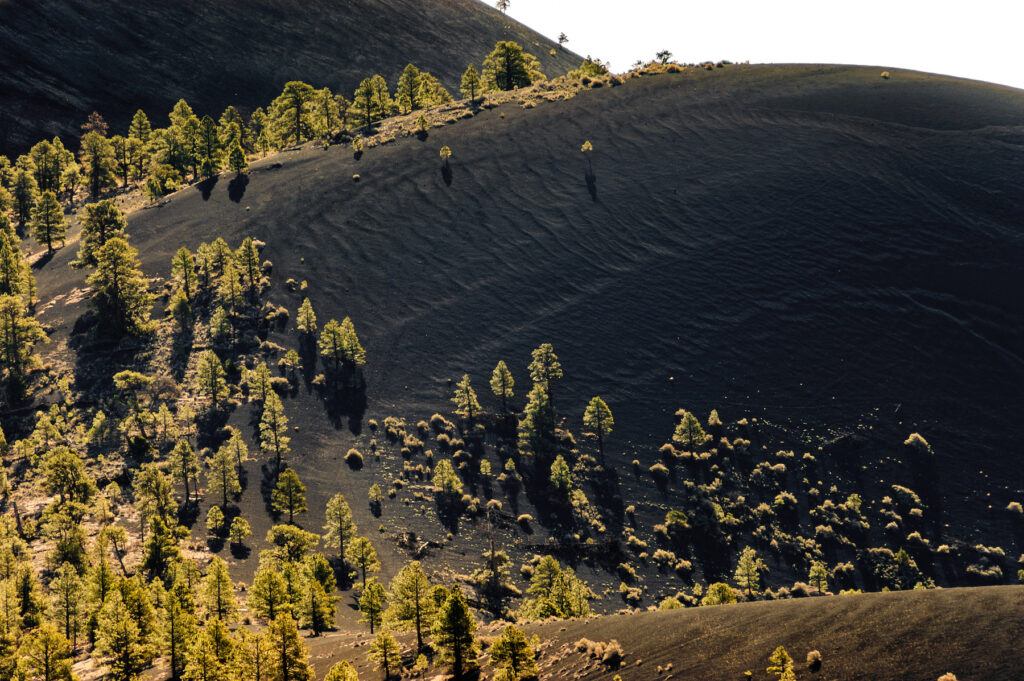 Trees growing back through the black lava rock.