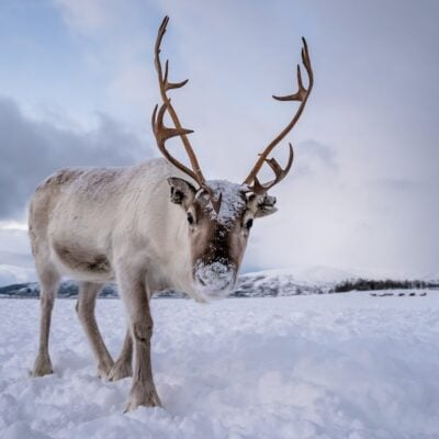 Tromso Arctic Reindeer.