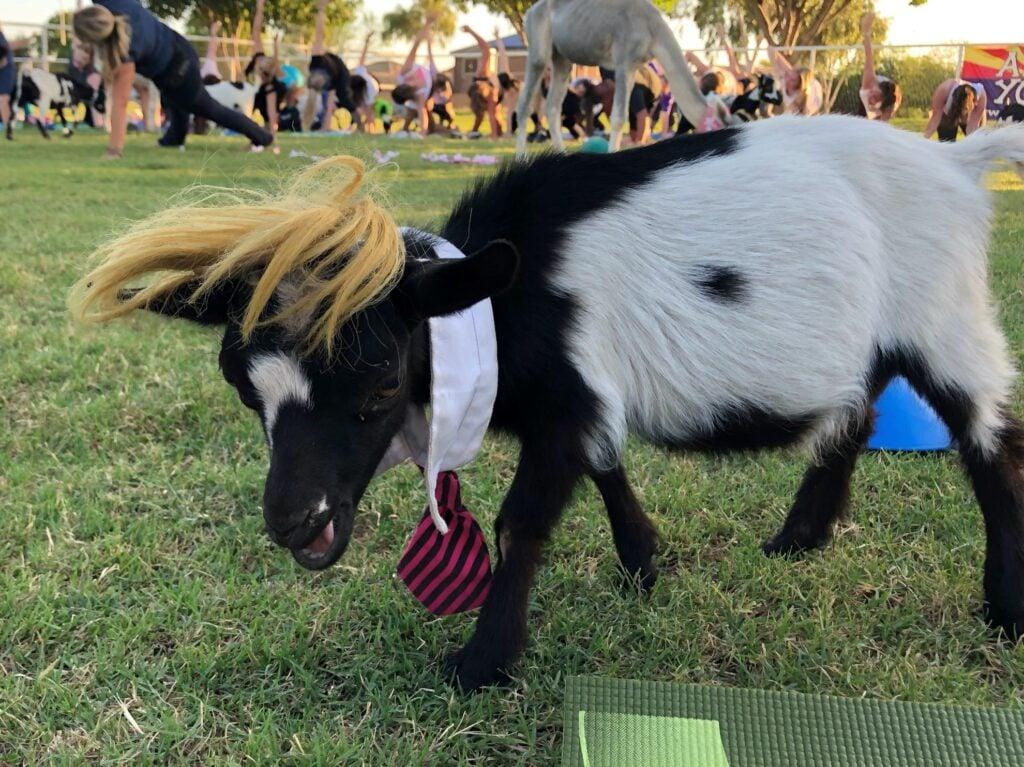 Trump the goat.