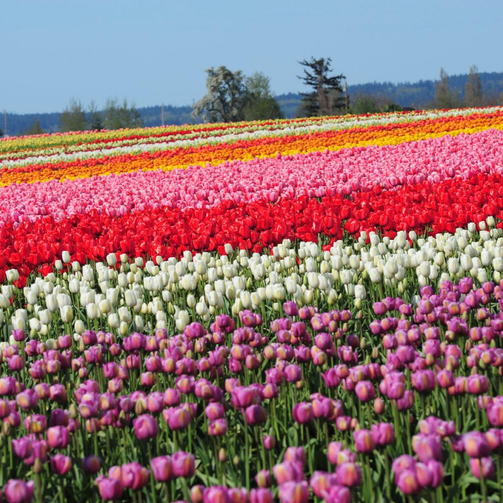 Tulip fields in Mount Vernon, Washington.
