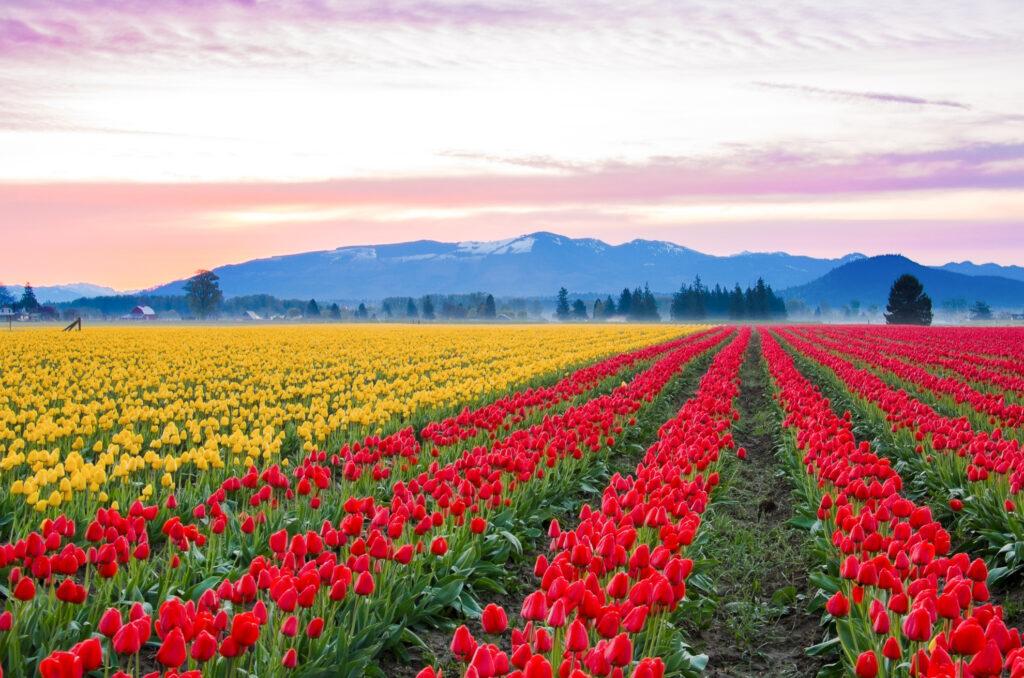 Tulip fields in Skagit Valley.