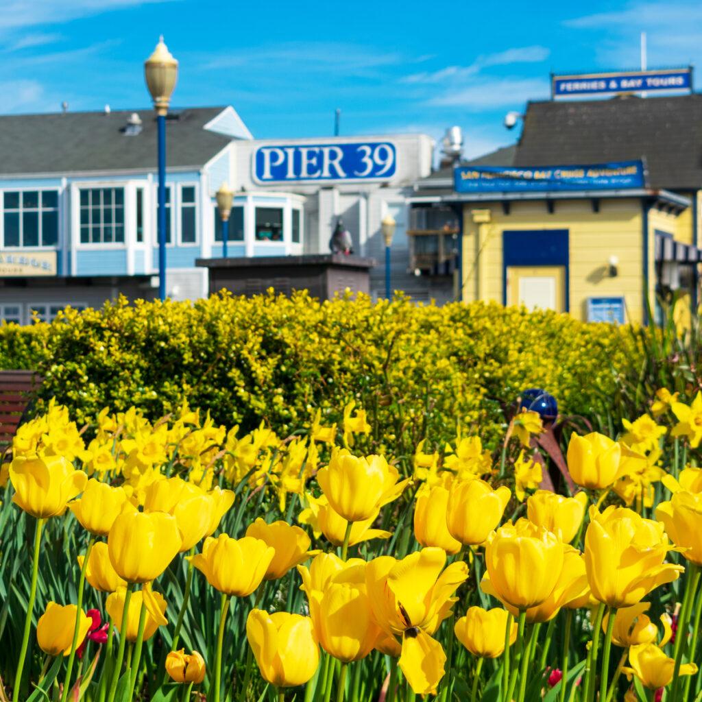 Tulipmania in San Francisco.