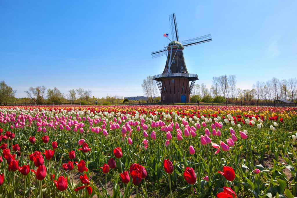 Tulips and a Dutch windmill in Holland, Michigan.