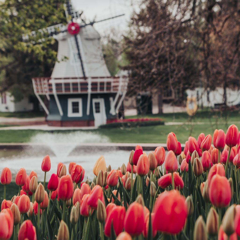 Tulips and a windmill in Orange City, Iowa.