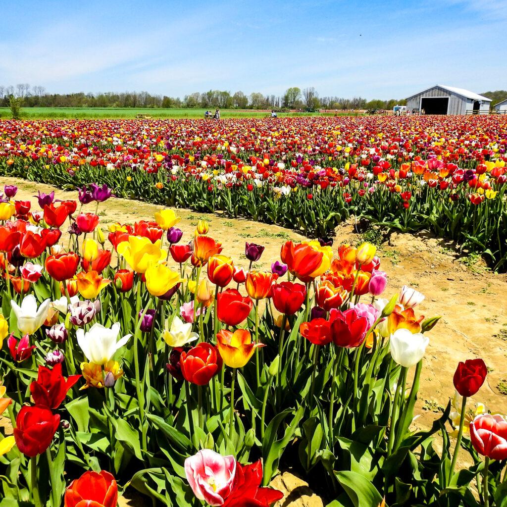 Tulips at Holland Ridge Farms Tulip Festival.