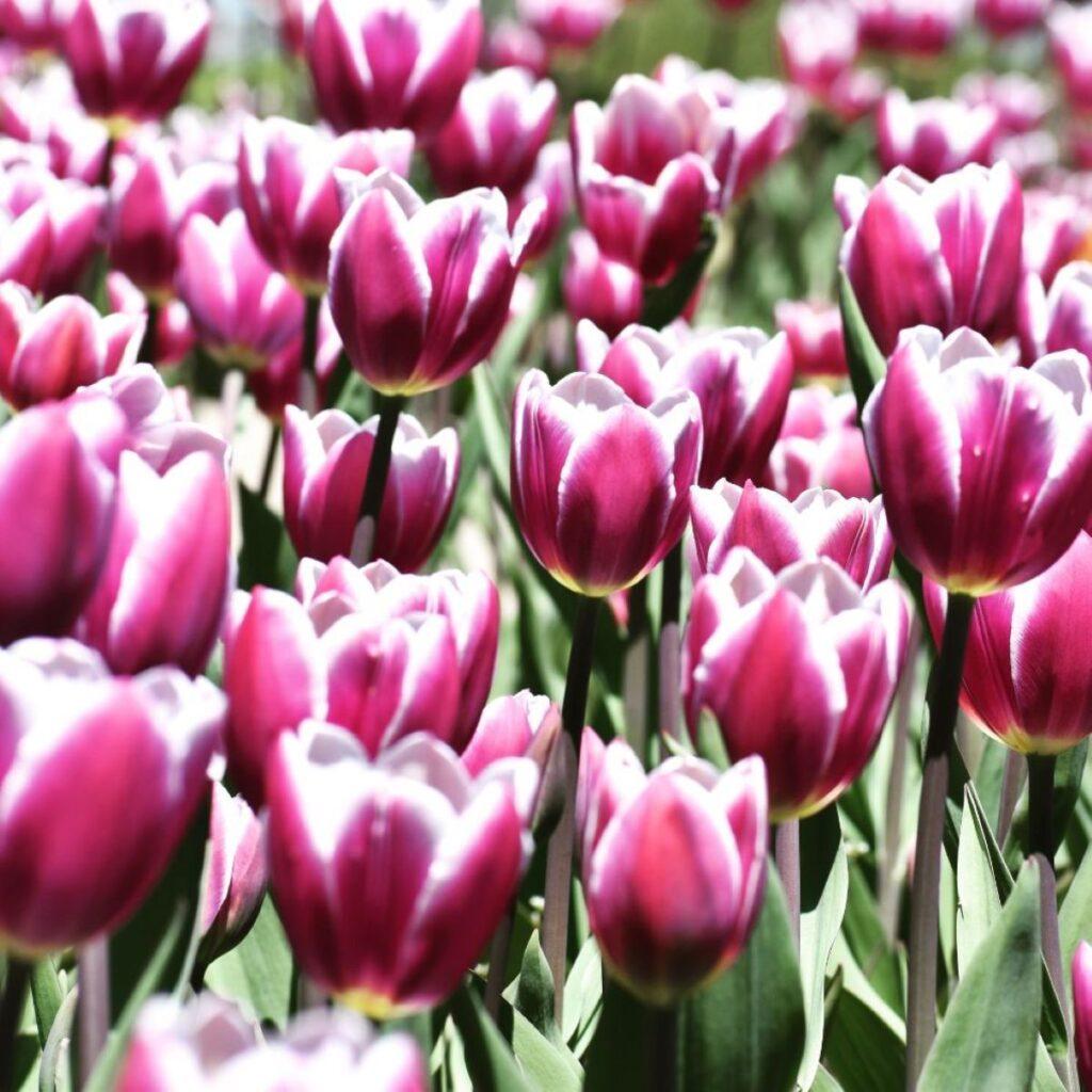 Tulips at Windmill Island Garden.