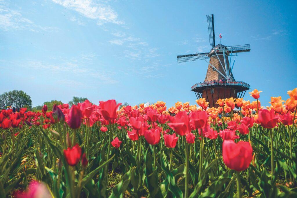 Tulips in Holland, Michigan.