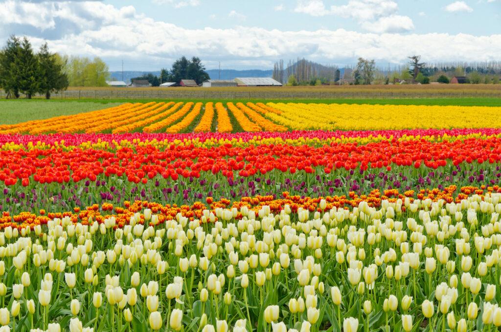 Tulips in Washington's Skagit Valley.