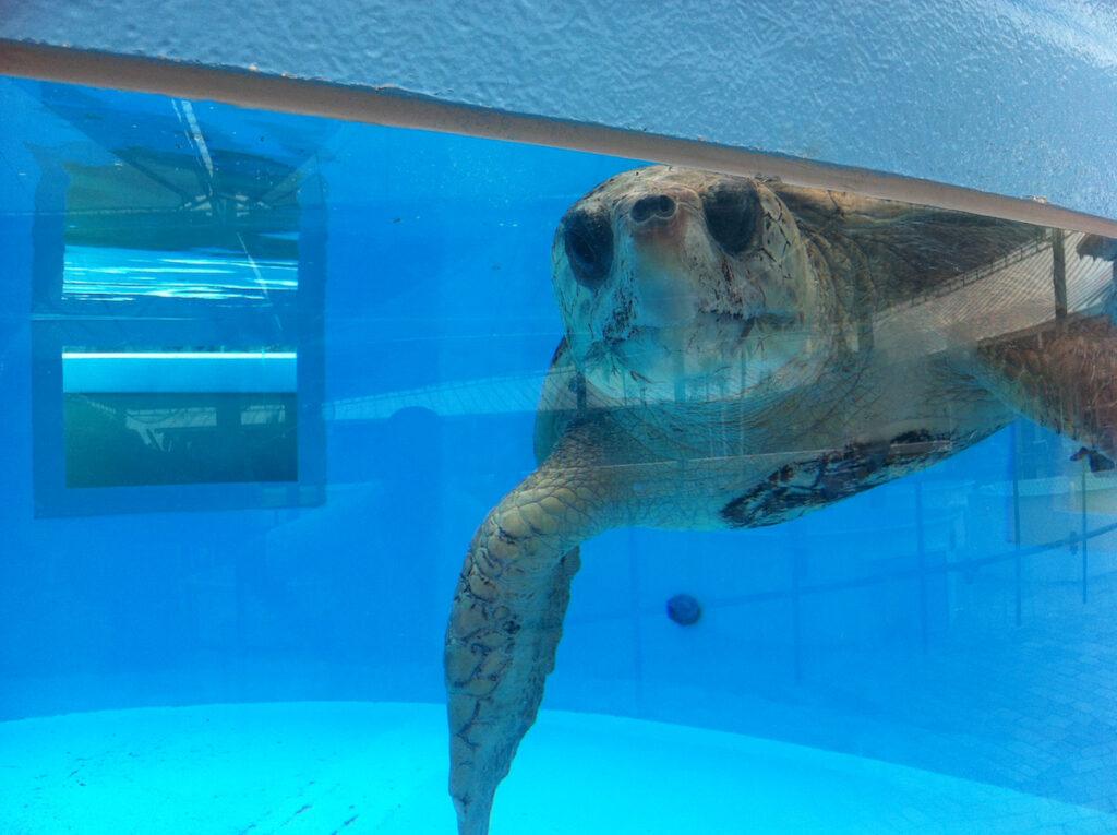 Turtle in aquarium.