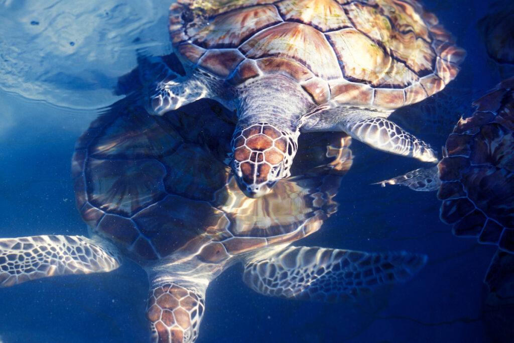 Turtles off the coast of Isla Mujeres.