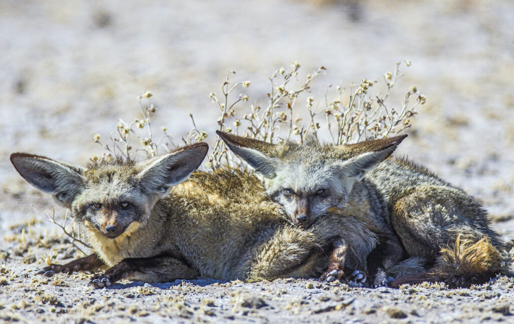Two bat-eared foxes.