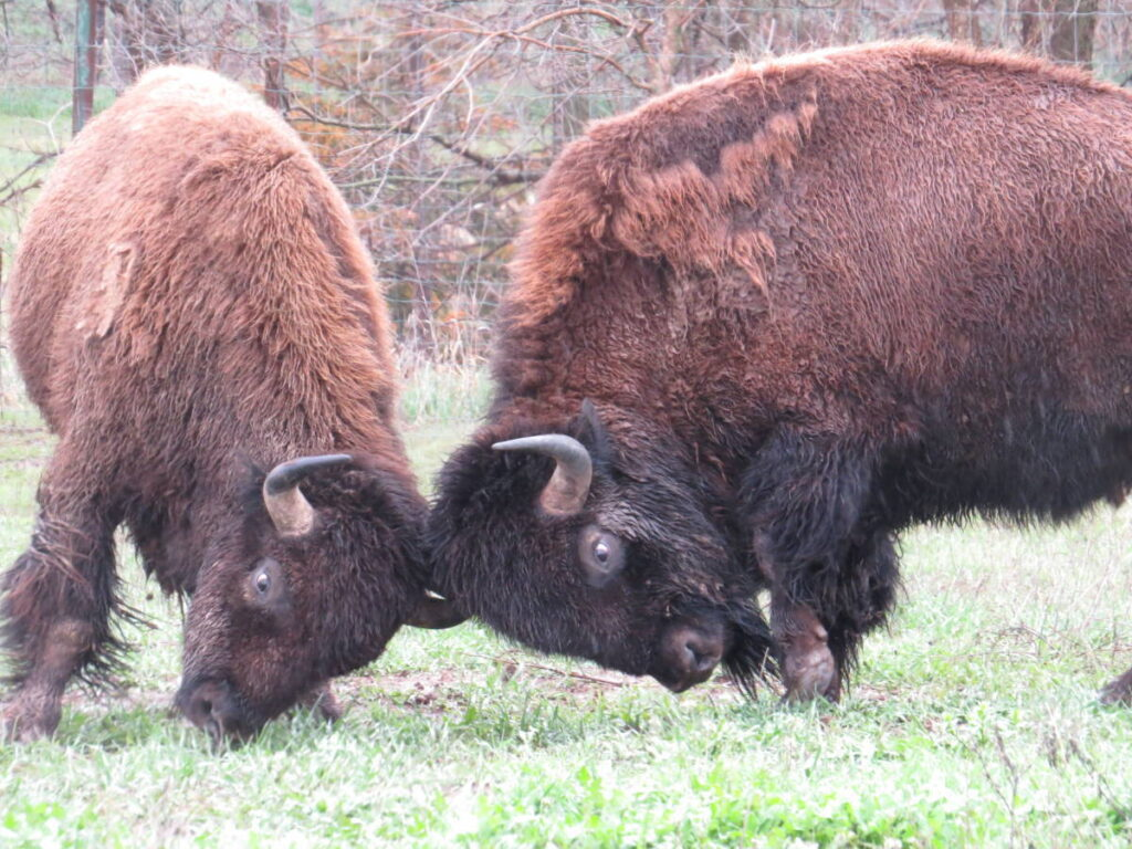 Two bison fighting using their horns.