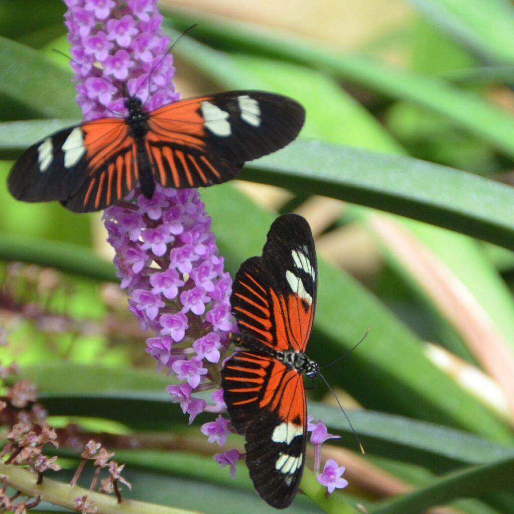 Two butterflies on a flower.