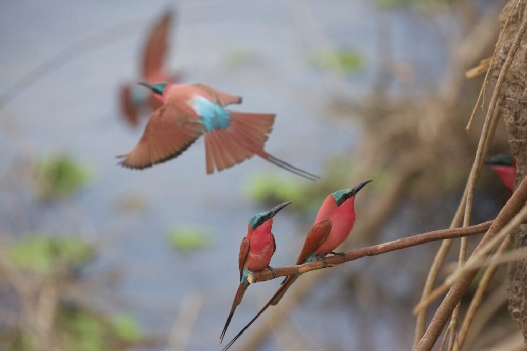 Two carmine bee-eaters on a branch.