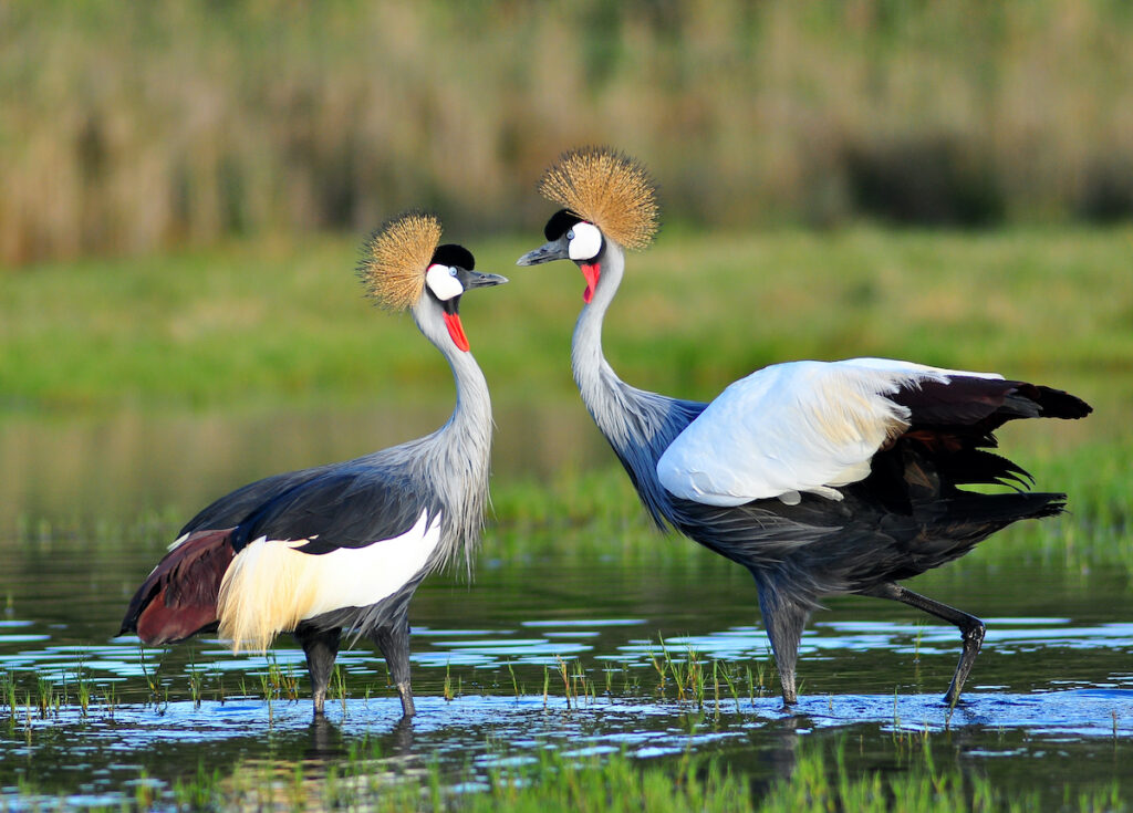 Two grey crowned cranes.