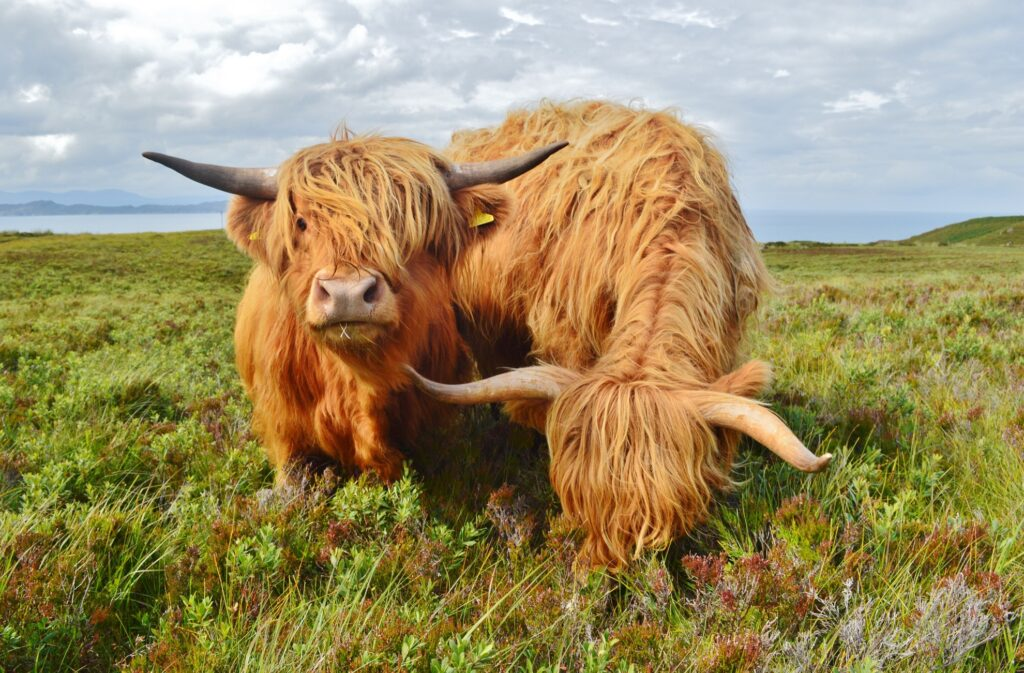 Two Highland cattle in Scotland.