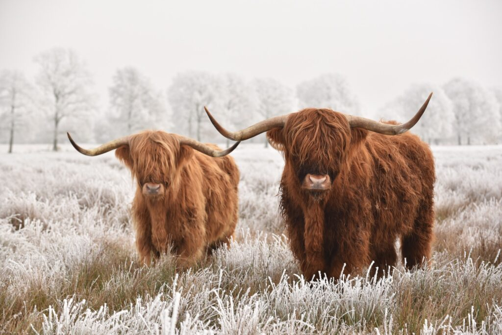 Two Highland cattle in the snow.
