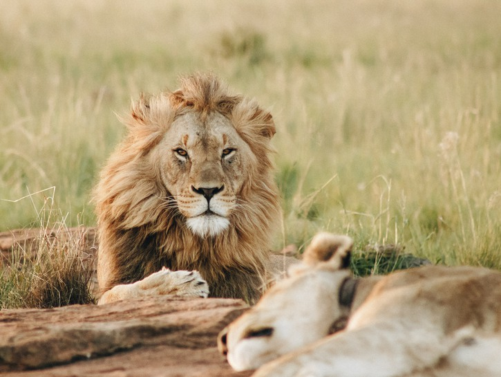 Two lions relaxing in the sun.