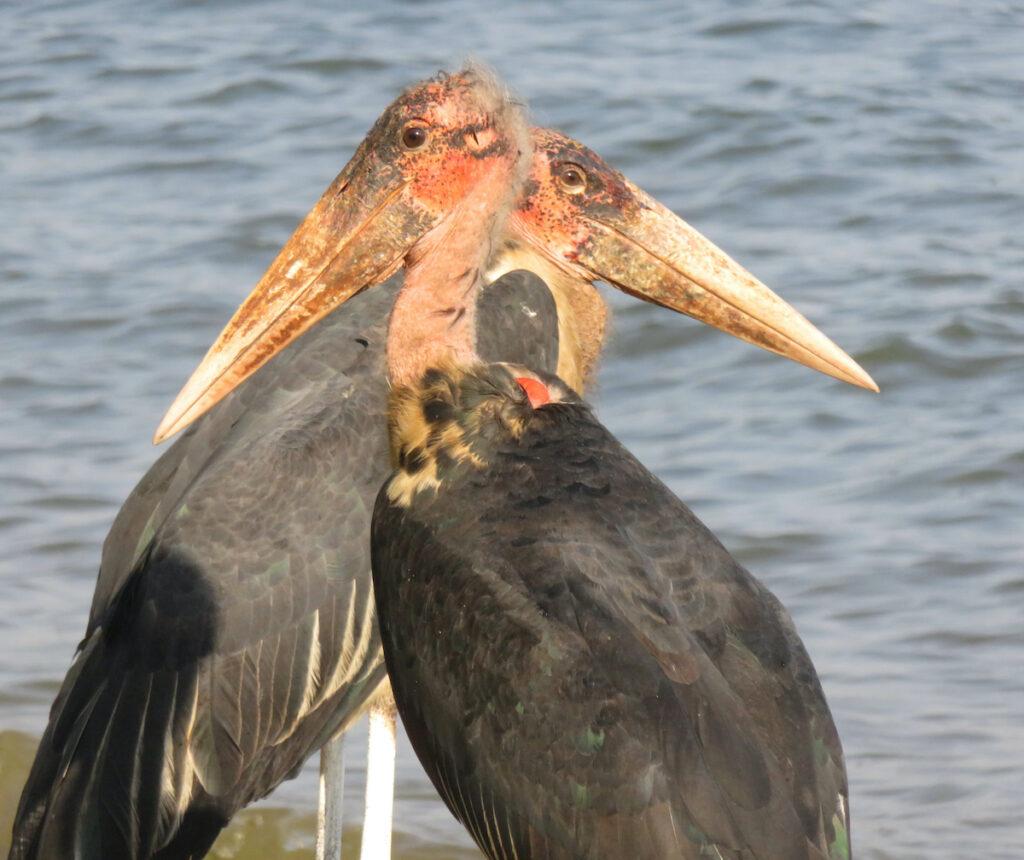 Two Maribou Storks.