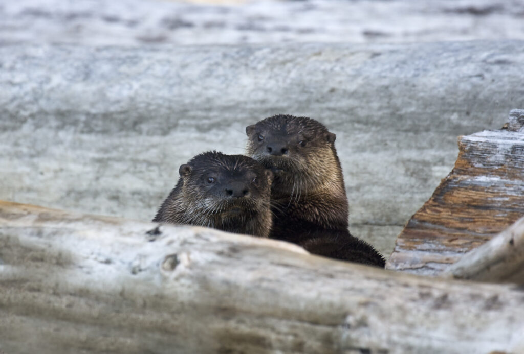 Two otters in Olympic National Park.