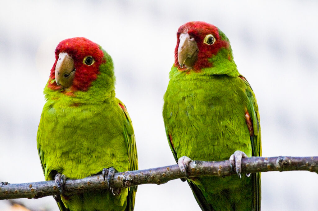 Two parrots in a tree on Telegraph Hill