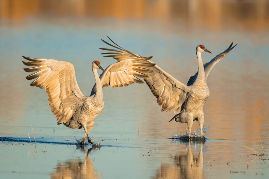 Two sandhill cranes in a pond.