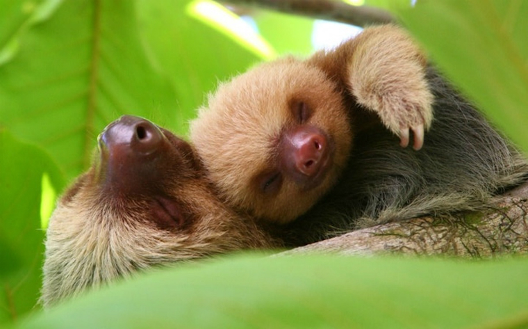 Two sloths in Manuel Antonio National Park.