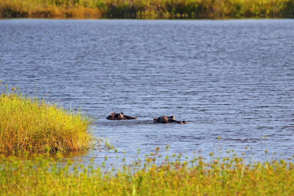 Two wild hippos on Mafia Island in Tanzania.
