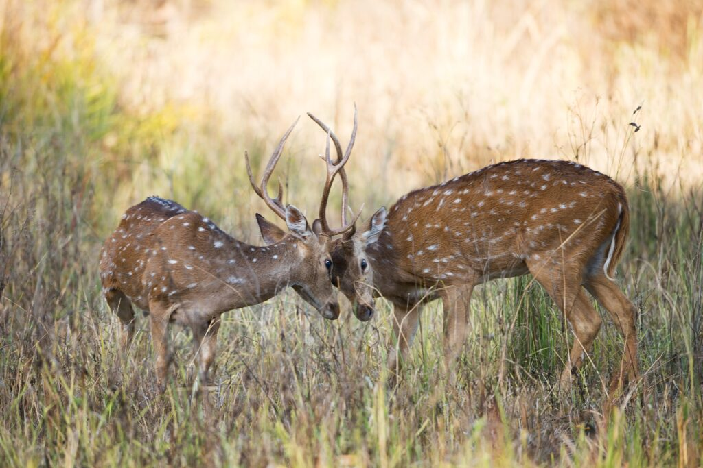 Two young male deer that could be carrying deer ticks
