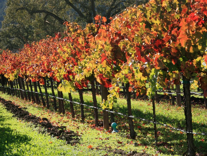 Vines changing color in Napa.