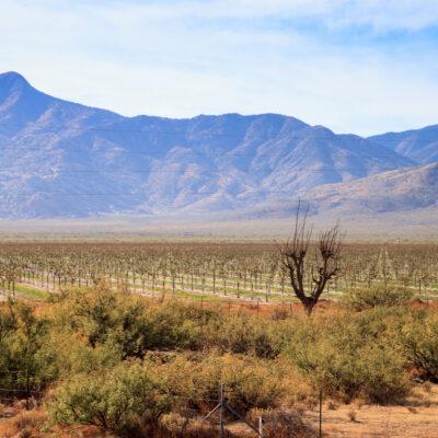 Vineyard in Tucson, Arizona.