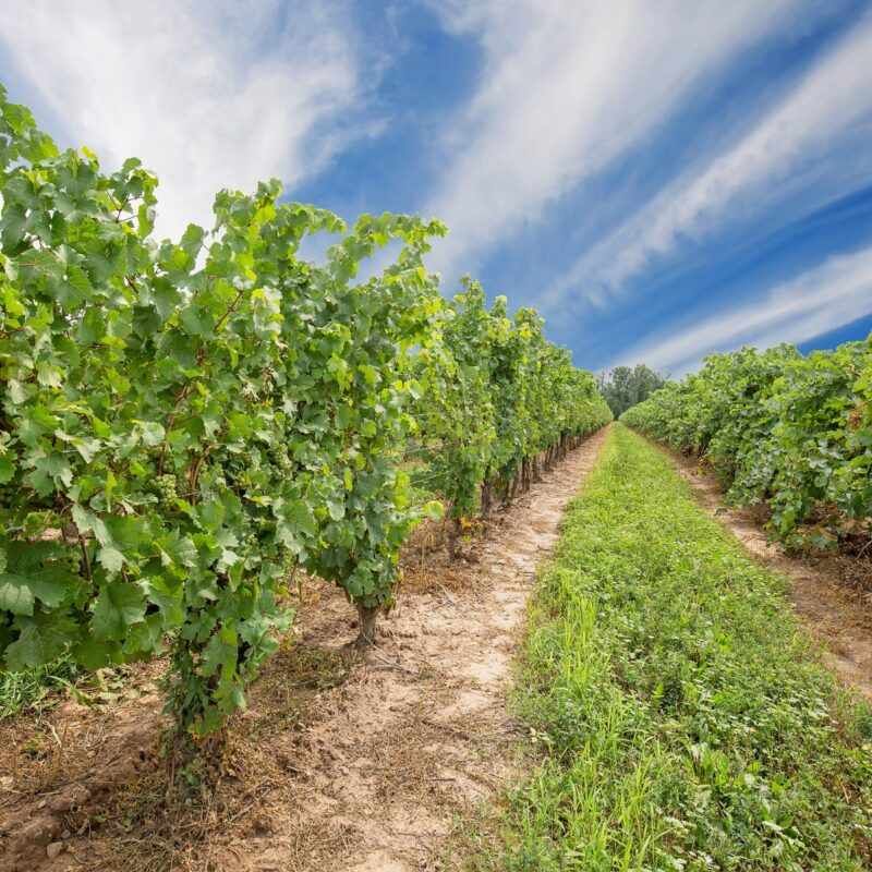 Vineyard that produces Ontarian wine and Icewine.