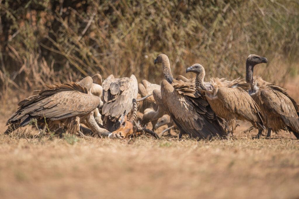 Vultures feasting.