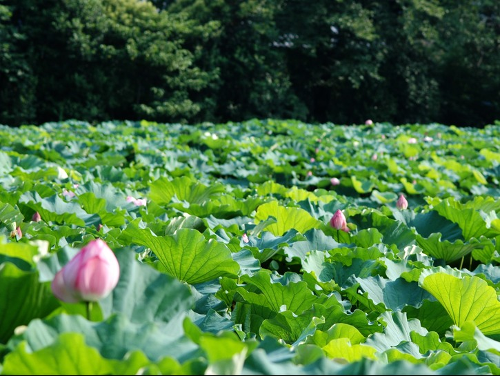 Water with floating lotus flowers.